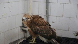 Tunceli'de elektrik akımına kapılan şahin koruma altına alındı
