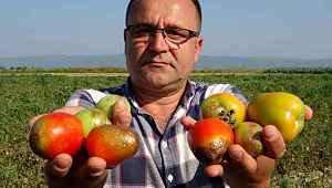 Türkiye'nin yüzde 40 salçalık ihtiyacını karşılayan ovadaki domatesler kurudu - Bursa Haberleri