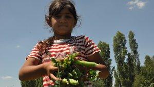 Türkiye'nin bezelye ihtiyacının yüzde 35'ini karşılayan Sinanpaşa'da hasat başladı