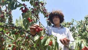 Türkiye'nin en geç kiraz hasadı Ahlat'ta yapılıyor