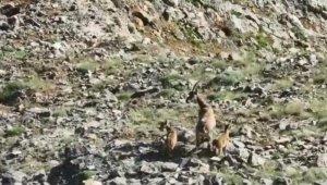 Yaban keçisi ve yavruları görüntülendi