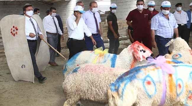 Aksaray'da koyun sürüsüne koç katımı yapıldı