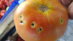 Çiftçi domates güvesi ile mücadele ediyor