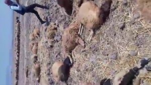 Hatay'da içtiği sudan zehirlenen 150 koyun telef oldu