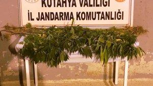 Kütahya'da 3 kişi kenevir bitkisi sularken suçüstü yakalandı