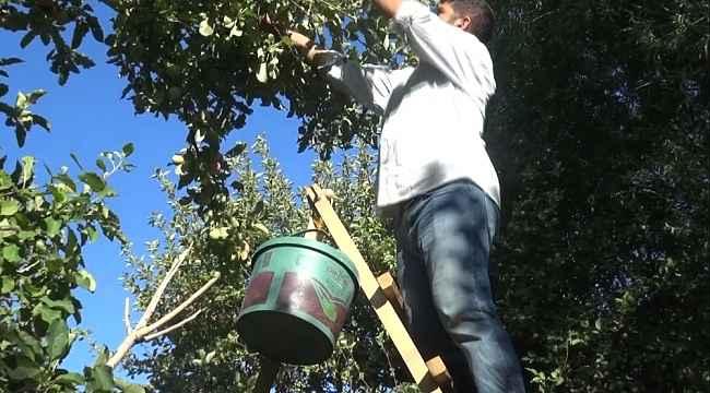 Muş'ta elma hasadına başlandı