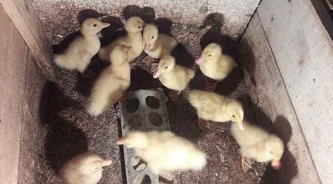 Ordu'da Pekin ördeğinin ilk civcivleri çıktı