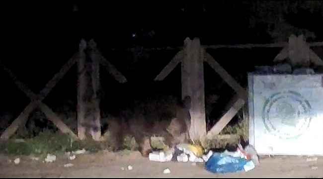 Uludağ'da aç kalan ayı çöpleri karıştırırken görüntülendi