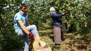 Üreticiler fiyattan memnun, fındık hasadı sevinçle yapılıyor