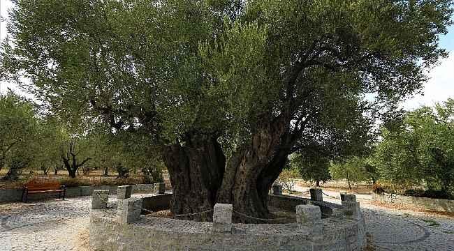 1658 yıldır medeniyetleri besleyen ağaç bu yıl da meyve verdi