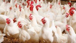5 milyon kanatlı hayvanın sevki yapıldı