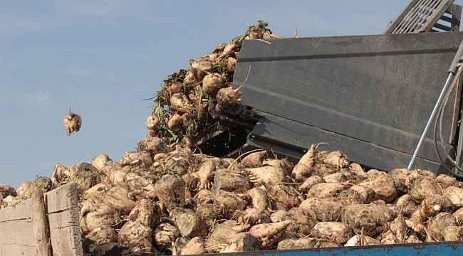 Ağrı'da şeker pancarı hasadı sürüyor