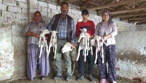 Beşiz doğuran koyun şaşırttı