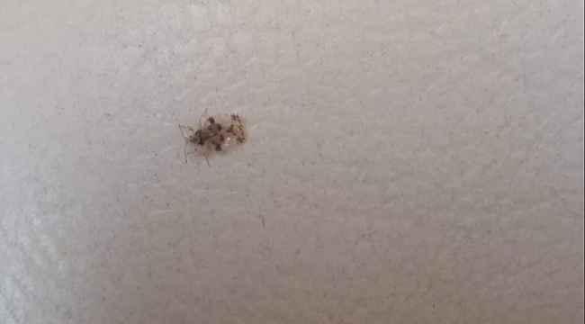 Bilecik, 'armut kaplanı' böceği istilasına uğradı