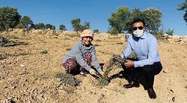 DTO'nun desteğiyle kurulan lavanta bahçelerinde son hasat yapıldu