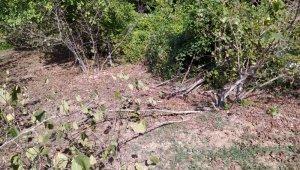 Fındık ve ceviz ağaçlarını kesen şüpheliler aranıyor