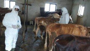 Iğdır'da şap aşılama kampanyası devam ediyor