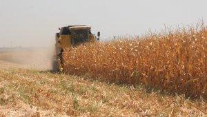 Kilis'te mısır hasadı başladı