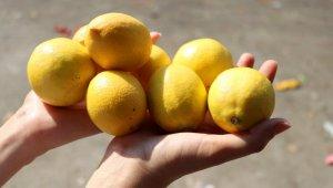Limon fiyatıyla üreticisini sevindirdi