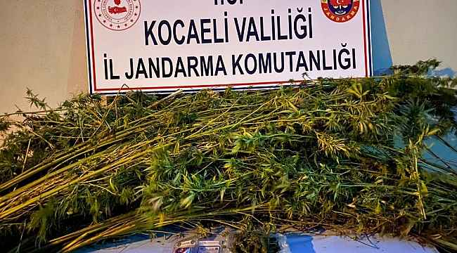 Ormanlık alana 371 kök kenevir eken 2 şahıs gözaltına alındı