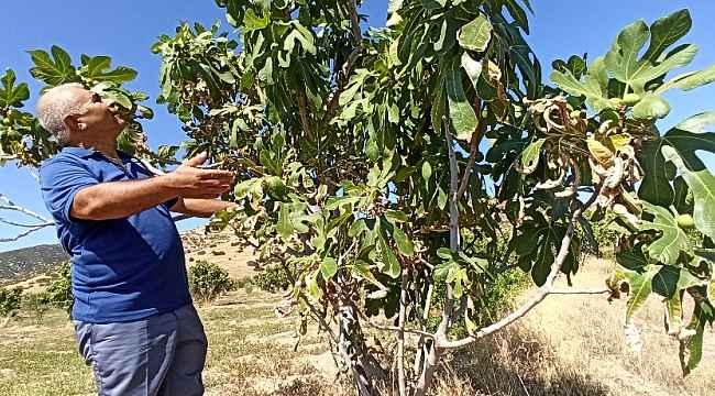 Sıcaklıklar incirin rekolte ve kalitesini etkiledi