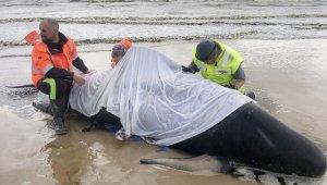 Tazmanya Adası açıklarında, 380 balina kıyıya vurdu