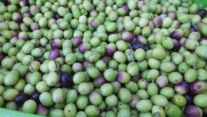 Balıkesir'de yeşil zeytin hasadı başladı
