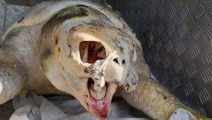 Dev deniz canlısı ölü bulundu