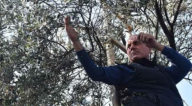 Gemlik parklarında zeytin seferberliği - Bursa Haberleri