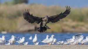 Halkalı karabatak Romanya'dan Türkiye'ye 500 kilometre uçarak geldi - Bursa Haberleri
