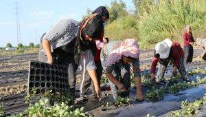 Serik'te 4 bin dekar alanda çilek üretimi için dikimler başladı