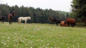 Bolu'da 'Yılkı Atları'nın evi At Yaylası'nda sonbahar güzelliği