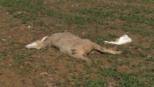 Bursa'da kurtlar sürüye saldırdı - Bursa Haberleri