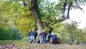 Dev kestane ağacı 600 yıldır meyve veriyor