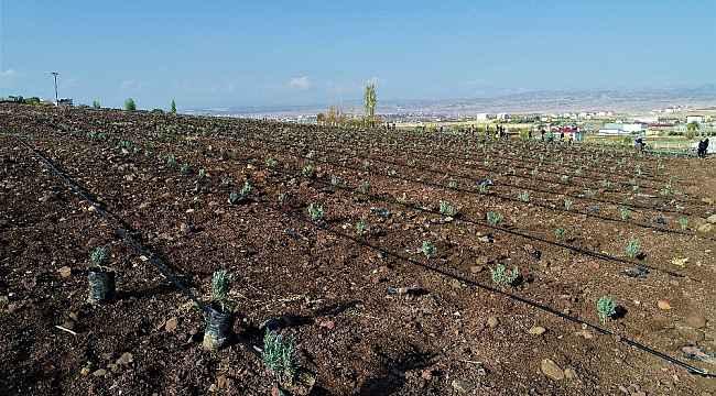 Doğu Anadolu Bölgesi'nin en büyük lavanta bahçesi Elazığ'da kuruldu