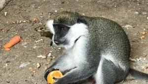 Düzce'de sahibinin terk ettiği tropikal maymun yakalanarak koruma altına alındı