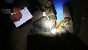 Kuşadası'nda iki kaplumbağa ölü olarak bulunduu