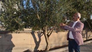 Zeytin ve yaprağı Anadolu'da halk tıbbında asırlardır kullanılıyor