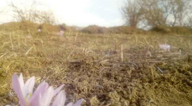 Baharın müjdeleyicisi olarak bilinen çiğdemler, kışın ortasında çiçek açtı