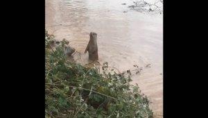 Bartın Irmağı'nda su samuru görüldü