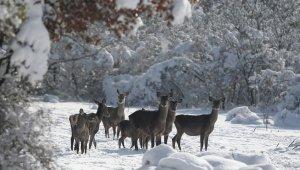 Bursa'daki kızıl geyiklere özel yem takviyesi - Bursa Haberleri