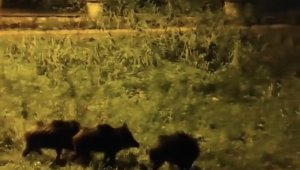 Dağlara kar yağdı aç kalan domuz sürüsü şehre indi - Bursa Haberleri