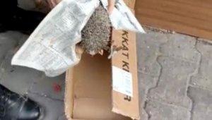 Demir basamağın altına sıkışan kirpiyi zabıta kurtardı
