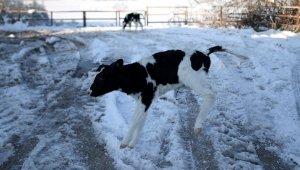 Dünyaya gözlerini yeni açan buzağılar karla tanıştı - Bursa Haberleri