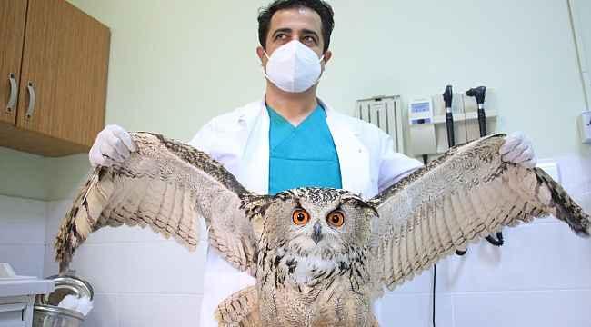 Elazığ'da vatandaşların bulduğu 'Kulaklı Orman Baykuşu' tedavi altına alındı