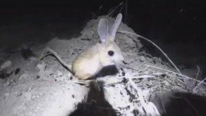 Gördükleri hayvanı 'pikachu' sandılar, gerçek bambaşka çıktı