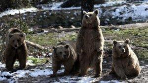 Kış geldi, ayıların yine uykusu gelmedi - Bursa Haberleri