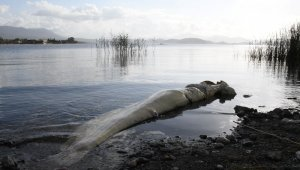 Köyceğiz gölünde ölü Yayın Balığı sahile vurdu