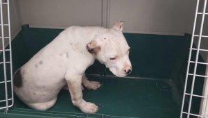 Kulakları kesilen Pitbull tedavi altına alındı