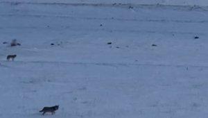 Kurt sürüsü kar üstünde görüntülendi